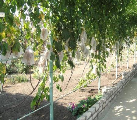 Конструкция для поддержания винограда