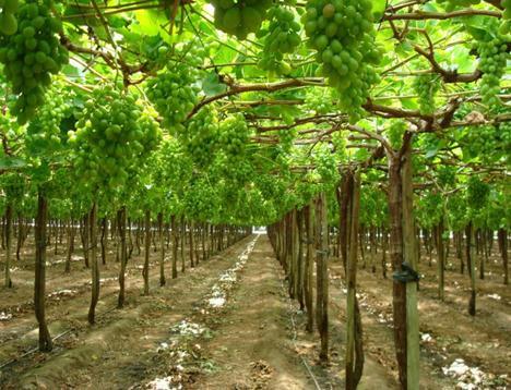 Шпалерная культура винограда